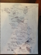 Anatomy of a bird wing & feathers